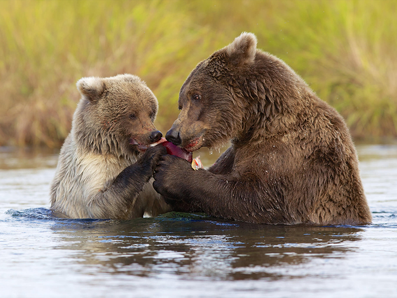 Alaska_Bear_Viewing_Tours